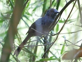 Manu antbird - Image: Cercomacra manu Manu antbird (male)