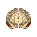 Cerebrum - middle temporal gyrus - anterior.png