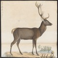 Cervus elaphus - 1818-1842 - Print - Iconographia Zoologica - Special Collections University of Amsterdam - UBA01 IZ21500238.tif