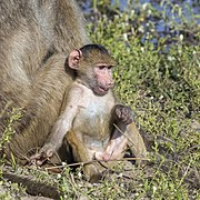 Chacma baboon (Papio ursinus griseipes) male baby 2.jpg