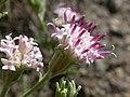 Chaenactis douglasii (4343829412).jpg