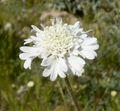 Chaenactis fremontii flower 2.jpg