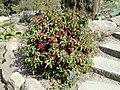 Chaenomeles japonica - Copenhagen Botanical Garden - DSC07488.JPG