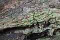 Chaenotheca chlorella.JPG