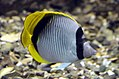 Chaetodon lineolatus at Red Sea Aquarium by Hatem Moushir.JPG
