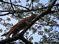 Chat sur cerisier en fleurs 20050422.jpg