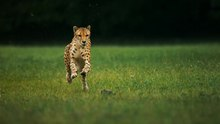 Fail:Cheetahs on the Edge (Director's Cut).webm