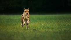 Податотека:Cheetahs on the Edge (Director's Cut).webm