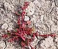 Chenopodium chenopodioides (L.) Aellen.jpg
