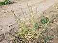 Chenopodium urbicum sl62.jpg