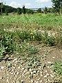 Chenopodium vulvaria sl123.jpg