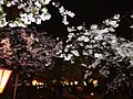 "Cherry-Blossom-Viewing through the ""Tunnel"" at Japan Mint in 201504 043.JPG"