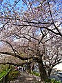 Cherry - panoramio (2).jpg