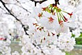 Cherry blossom near Zenpukuji river, Tokyo; March 2008 (04).jpg