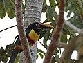 Chestnut-eared Araçari (Pteroglossus castanotis) - Flickr - berniedup (1).jpg