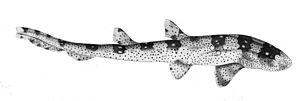 Whitespotted bamboo shark - Image: Chiloscyllium plagiosum 2