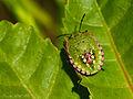 Chinche verde (Nezara viridula) (4470558641).jpg