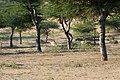 Chinkaras dans le désert du Thar (Rajasthan) (3).jpg