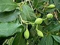Chionanthus foveolatus subsp major, loof en vrugte, Manie vd Schijff BT, c.jpg