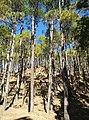 Chir Pines near Manali, India.jpg