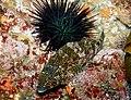 Chironemus marmoratus and black sea urchin - Poor Knights Islands.jpg