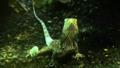 Chlamydosaurus kingii - Ménagerie du jardin des plantes - france.png