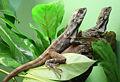 Chlamydosaurus kingii pair.jpg