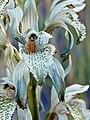 Chloraea virescens Los Alerces NP.JPG