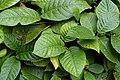 Chonemorpha fragrans3554.jpg