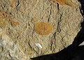 Chonetes sp. (fossil brachiopod) & fossil fish bone (Vinton Member, Logan Formation, Lower Mississippian; Route 16 roadcut northeast of Frazeysburg, Ohio, USA) 1 (39933539784).jpg