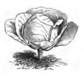 Chou cœur de bœuf petit Vilmorin-Andrieux 1883.png