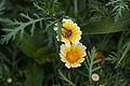 Chrysanthemum coronarium 1.jpg