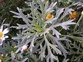 Chrysanthemum frutescens 0.0 R.jpg