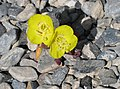 Chylismia brevipes Golden-evening-primrose tiny.jpg