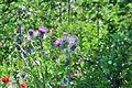 Cirsium japonicum - Paradise, Mount Rainier, August 2014 - 01.jpg
