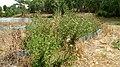 Cirsium vulgare 01.jpg