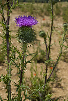 Wild Edibles - Thistle   Culinary Craftiness