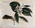Citron (Citrus medica); flowering branch. Colour and coloure Wellcome V0044251.jpg
