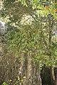 Citrus aurantium-2703.jpg