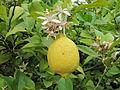 Citrus limonum.JPG