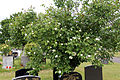 City of London Cemetery - flowering shrubs 12.jpg