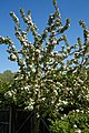 City of London Cemetery and Crematorium ~ Café apple blossom 04.jpg