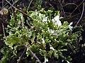 Cladonia foliacea 1 Osenberge.jpg
