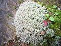 Cladonia stellaris habito.jpg