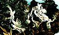 Cladonia sulphurina.jpg