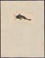 Clarias jagur - 1700-1880 - Print - Iconographia Zoologica - Special Collections University of Amsterdam - UBA01 IZ14600013.tif