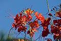 Clavellina (Caesalpinia pulcherrima) (14550439933).jpg