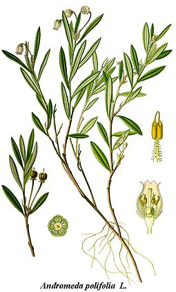 Cleaned-Illustration Andromeda polifolia.jpg