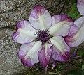 Clematis - Haddon Hall - Bakewell, Derbyshire, England - DSC02876.jpg