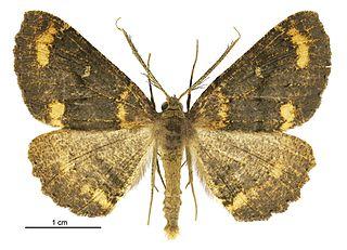 <i>Cleora scriptaria</i> Species of moth